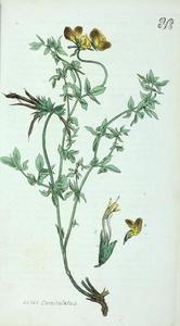 Lotus_corniculatus